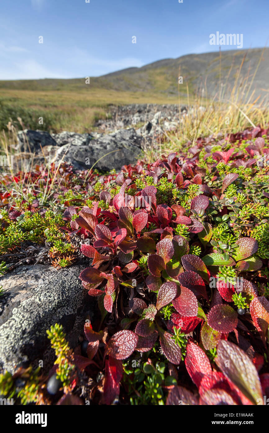 Bearberry (Arctostaphylos alpina) leaves turned bright red in early Autumn in the Yukon above the Arctic Circle, Canada Stock Photo