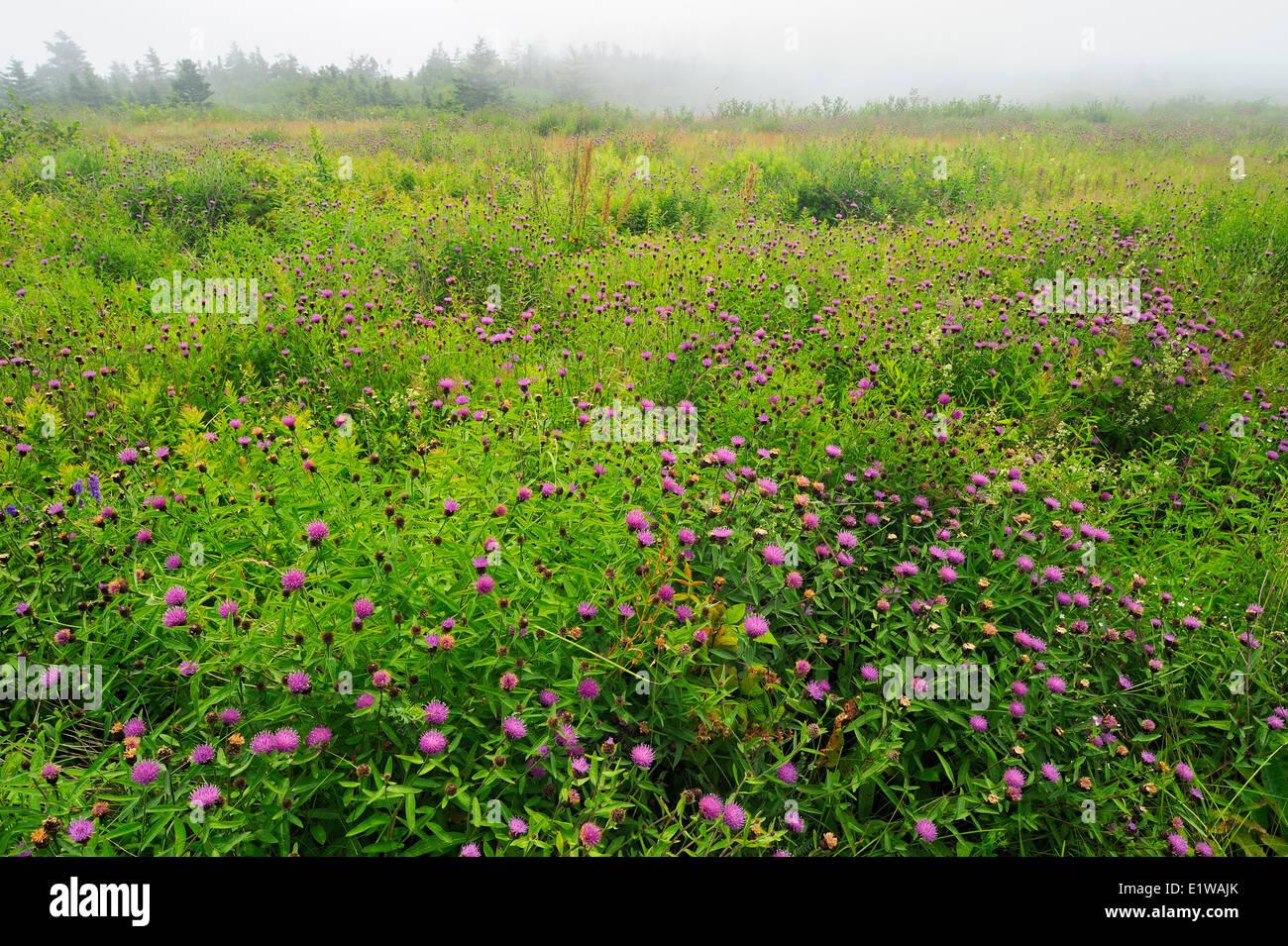 Thistles at Pond Cove, Brier Island, Nova Scotia, Canada - Stock Image