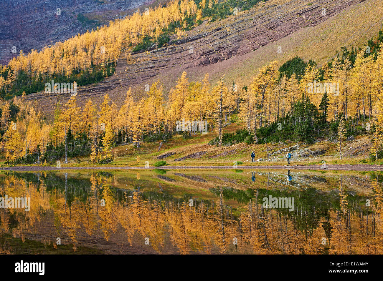 Fall Colour Reflection, Yellow trees are called Tamarack or Larch (larix laricina), Upper Rowe Lake, Waterton Lakes - Stock Image