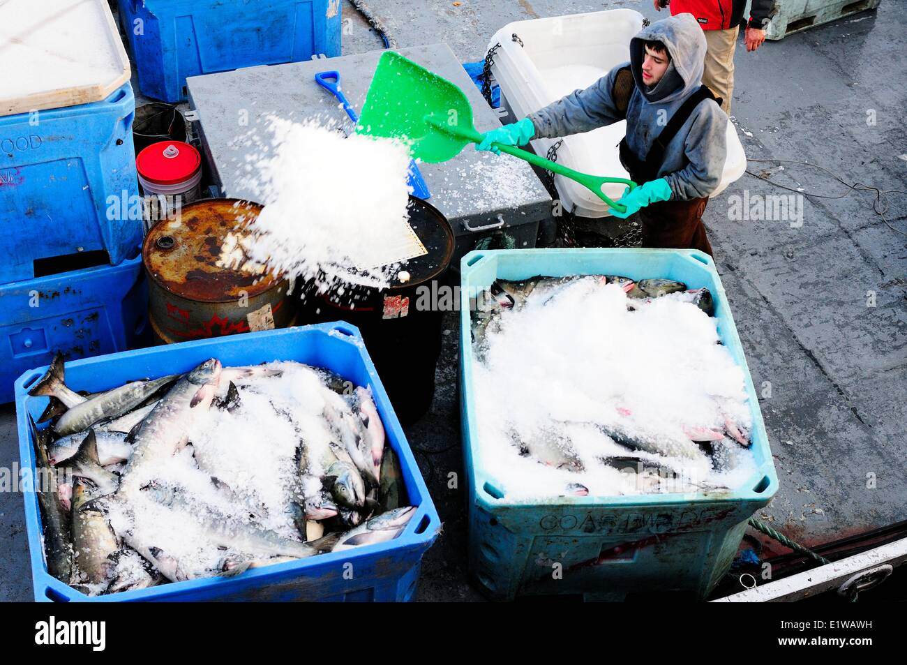 A fisherman spreads ice over Chum salmon (Oncorhynchus keta) that are being stored in containers on a fish boat - Stock Image