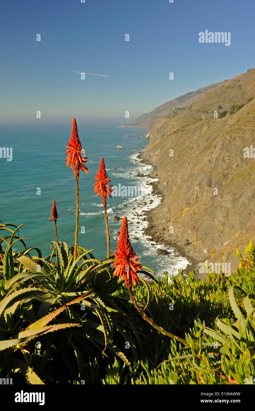 Aloe vera, Aloe spp, flowers, Ragged Point, California, USA - Stock Image