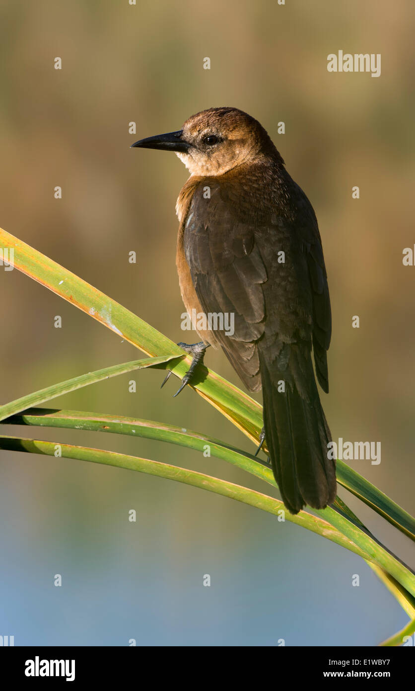 Boat-tailed Grackle  (Quiscalus major)  - Venetian Gardens, Leesburg Florida - Stock Image