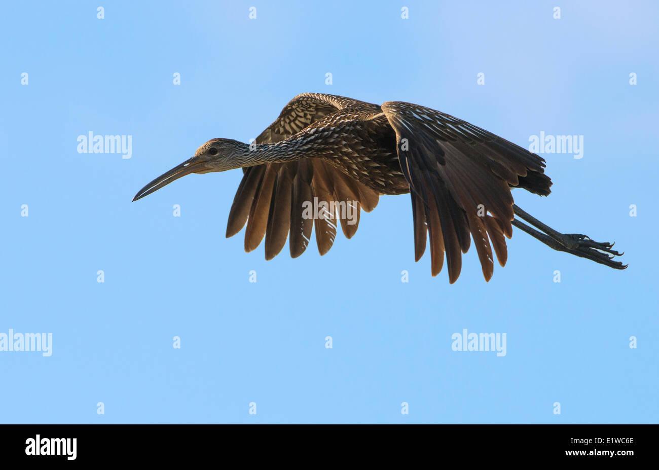 Limpkin (Aramus guarauna) - Circle B Bar Reserve, Florida - Stock Image