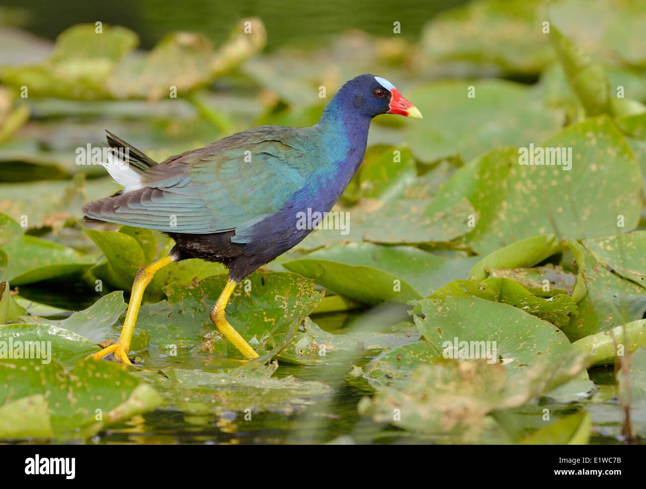 Purple Gallinule (Porphyrio martinicus) - Venetian Gardens, Leesburg Florida Stock Photo