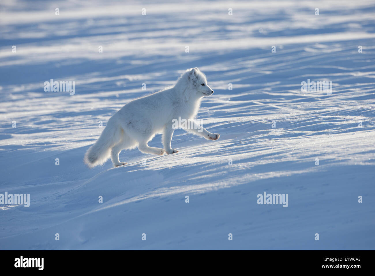 Arctic fox (Alopex lagopus), west coast Hudson Bay, south of Arviat, Nunavut, Canada - Stock Image