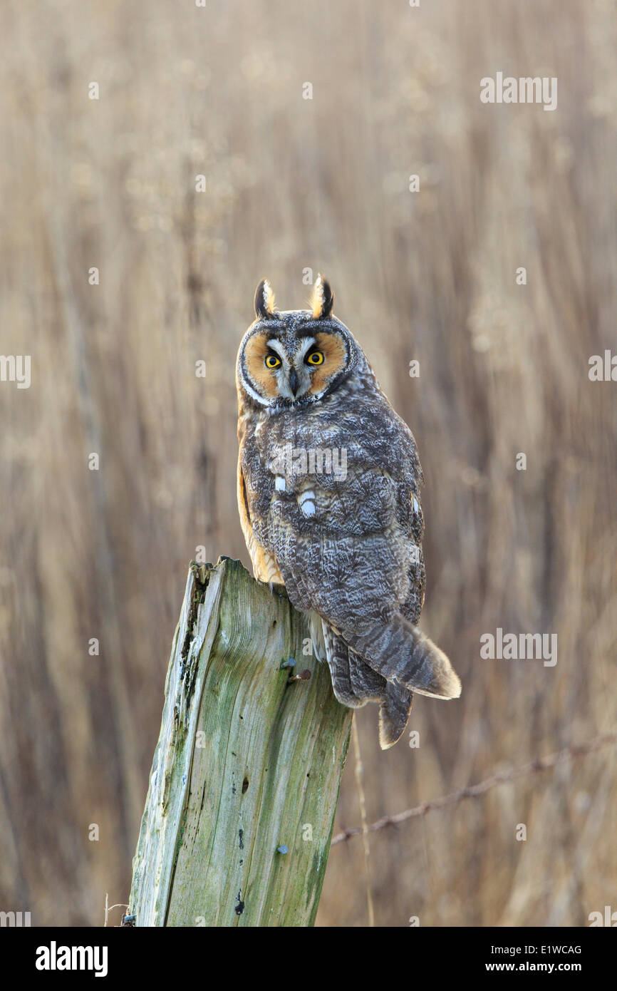Long-eared owl (Asio otus), Boundary Bay, British Columbia, Canada - Stock Image