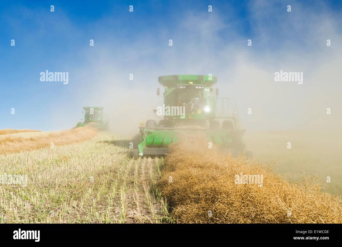 combine harvesters work in a swathed canola field, near Kamsack, Saskatchewan, Canada - Stock Image