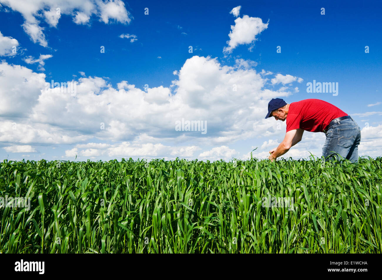 a man scouts an oat field, near Dugald, Manitoba, Canada - Stock Image