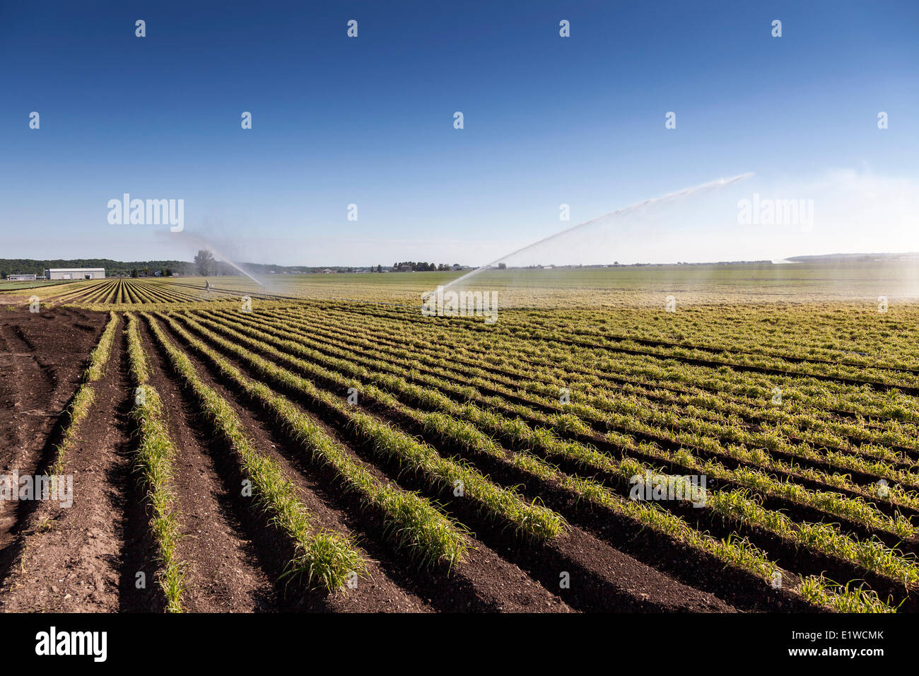 Watering the crops in a field in the Holland Marsh of Bradford West Gwillimbury, Ontario - Stock Image