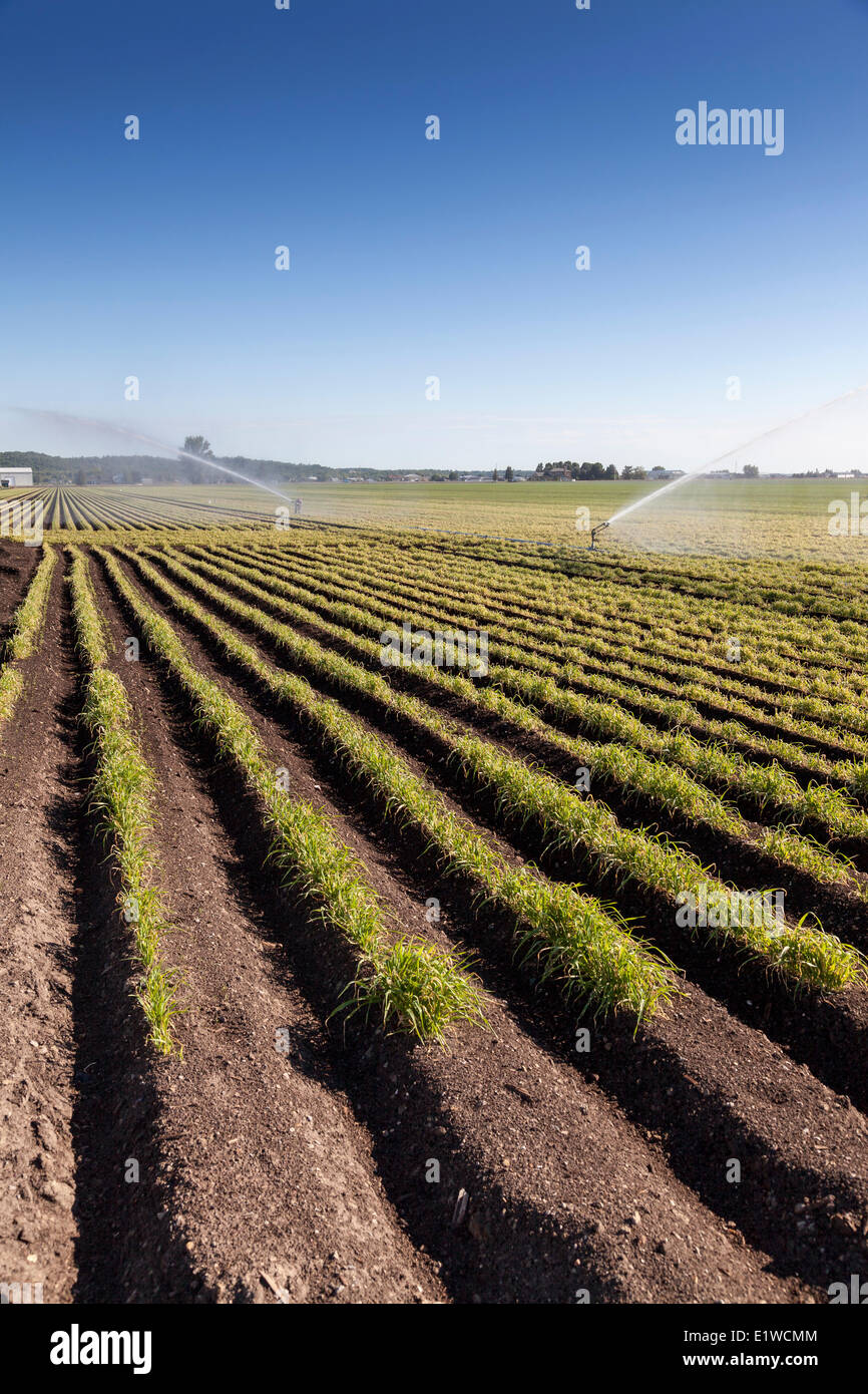 Watering the crops in a field in the Holland Marsh of Bradford West Gwillimbury, Ontario, Canada - Stock Image