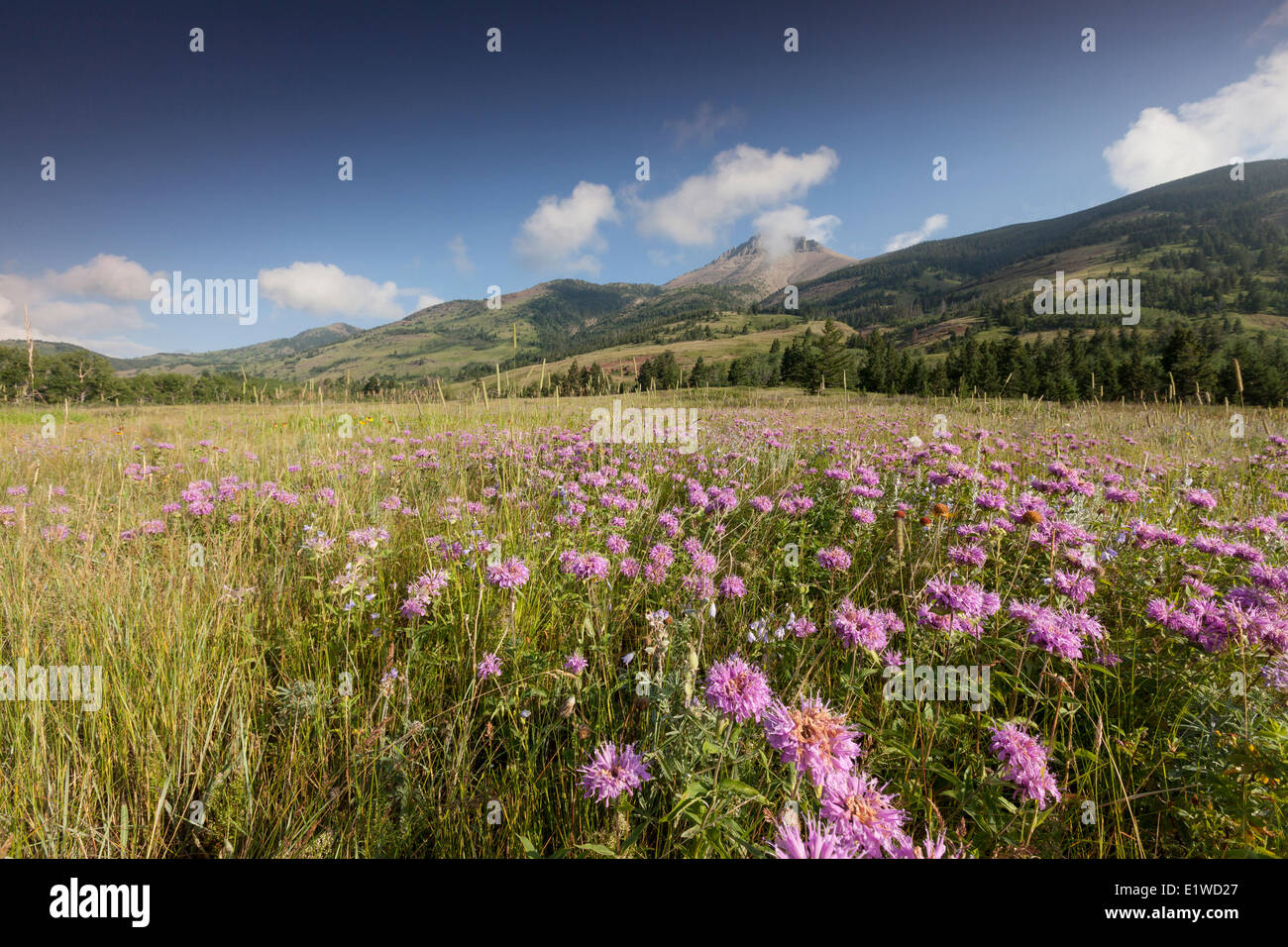 Wild Bergamot (Monarda fistulosa) other native wildflowers with a mountain backdrop in Waterton Lakes National Park - Stock Image