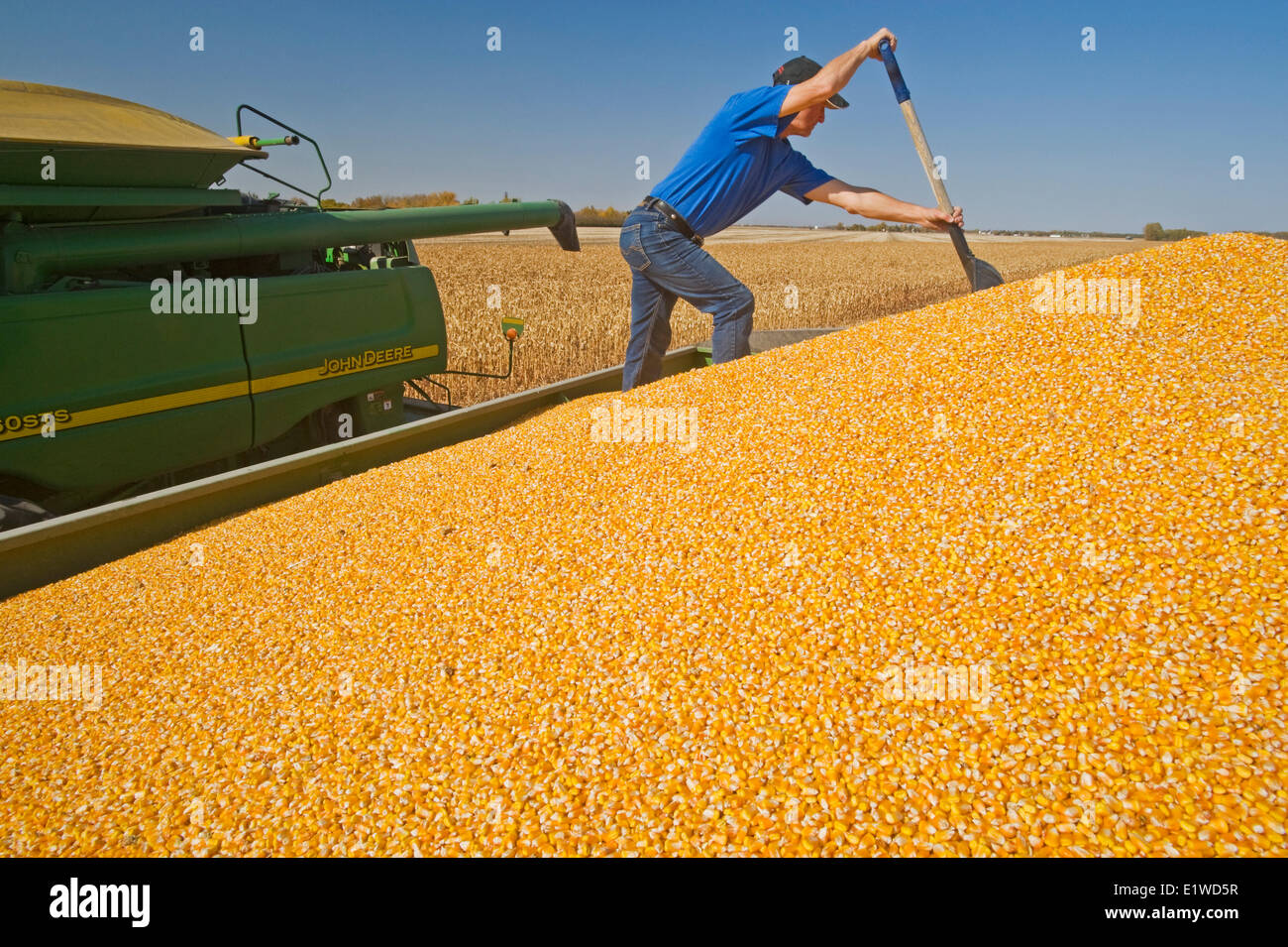 a man in the back of a grain wagon during the grain corn (feed corn) harvest near Niverville, Manitoba, Canada - Stock Image