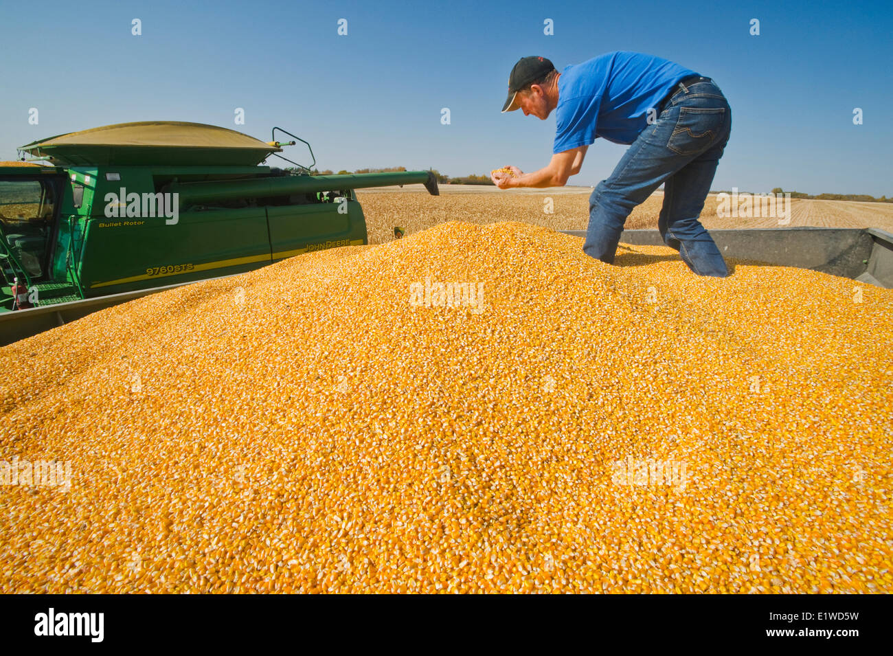 a man examines feed corn (grain corn) in the back of a grain wagon during the harvest near Niverville, Manitoba, - Stock Image