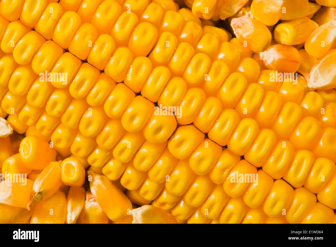 close-up of mature grain/feed corn and harvested kernels - Stock Image