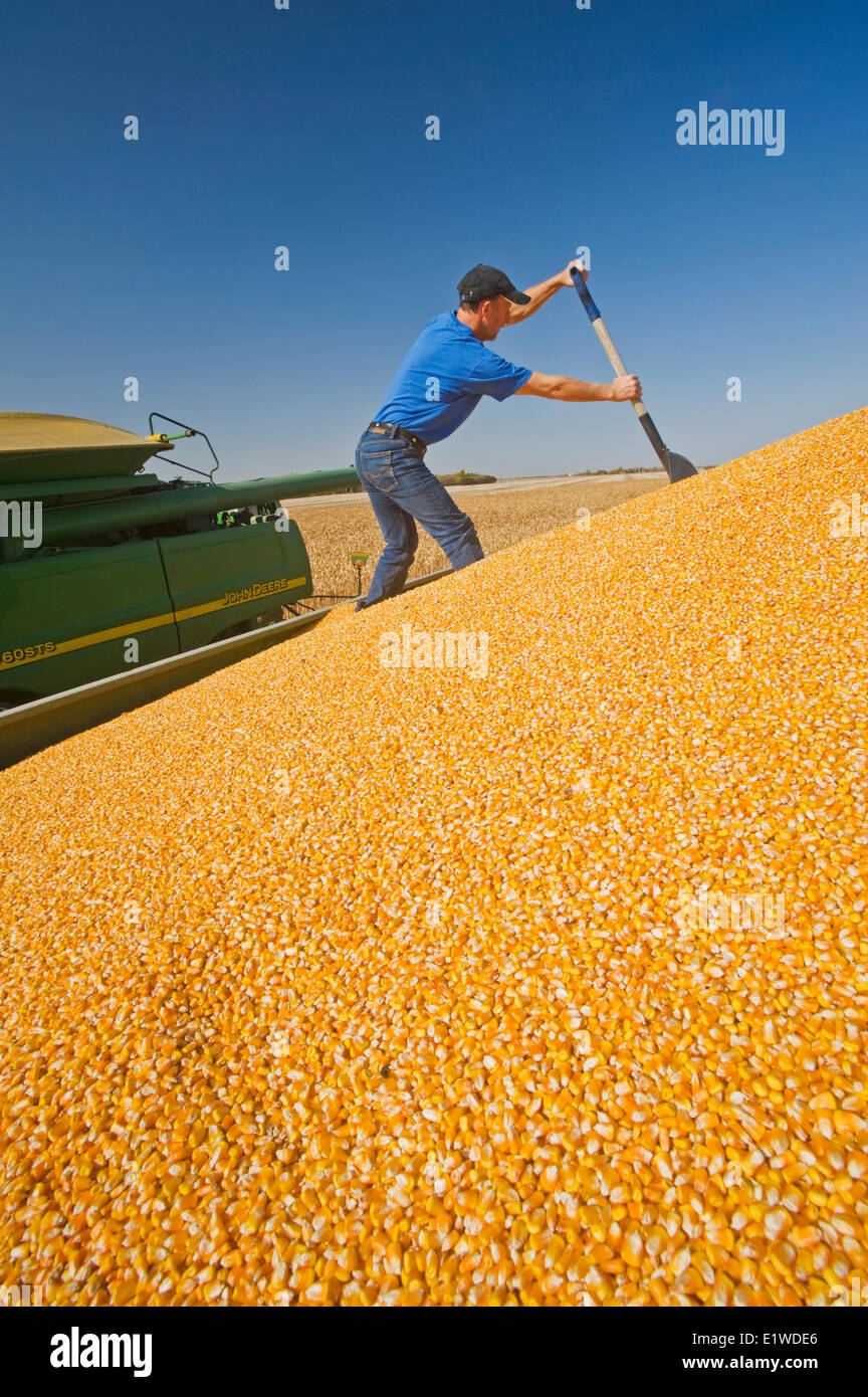 a man levels a load of grain/feed corn in the back of a grain truck during the harvest near Niverville, Manitoba, - Stock Image