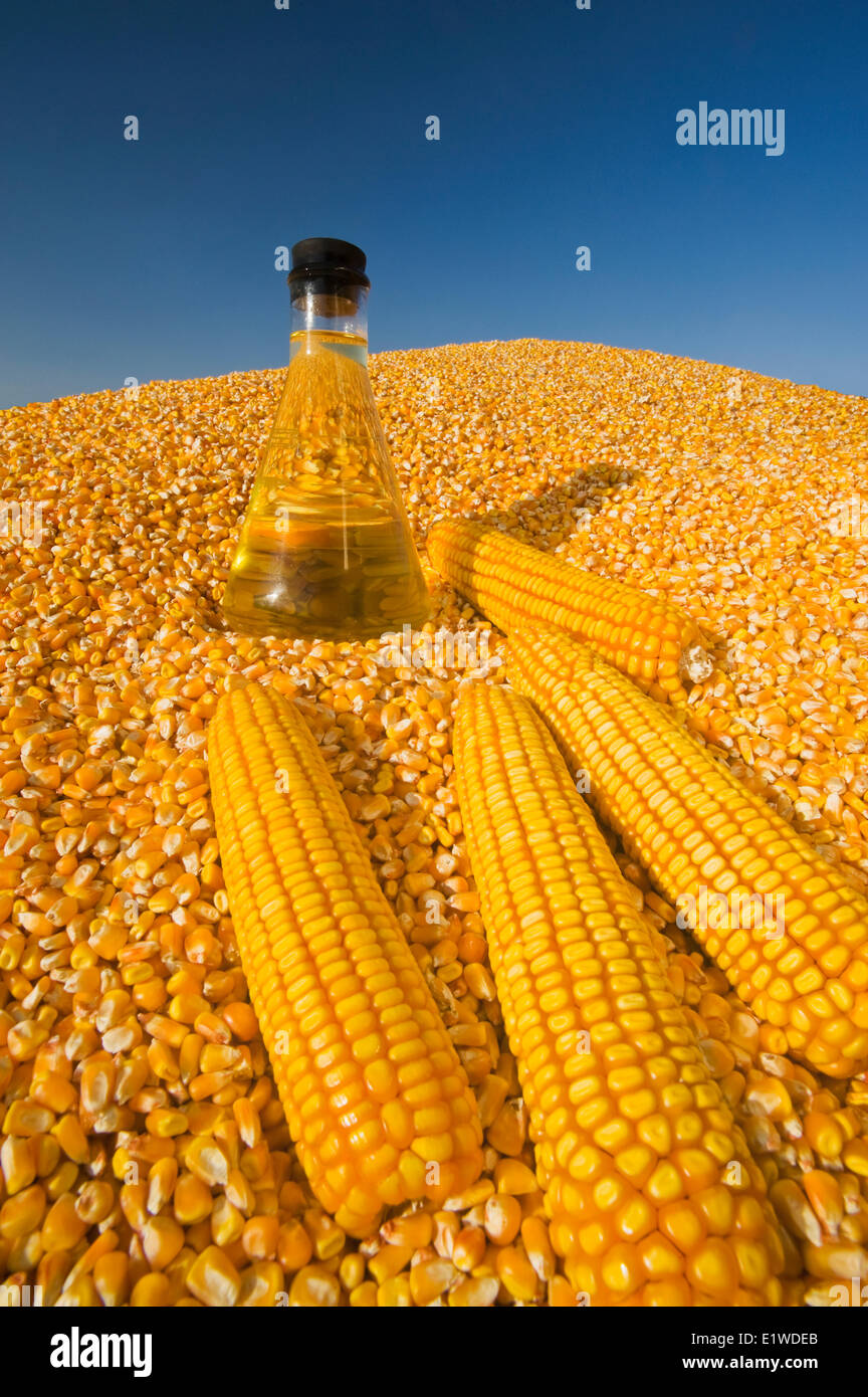 harvested grain/feed corn  and  corn oil in a flask - Stock Image