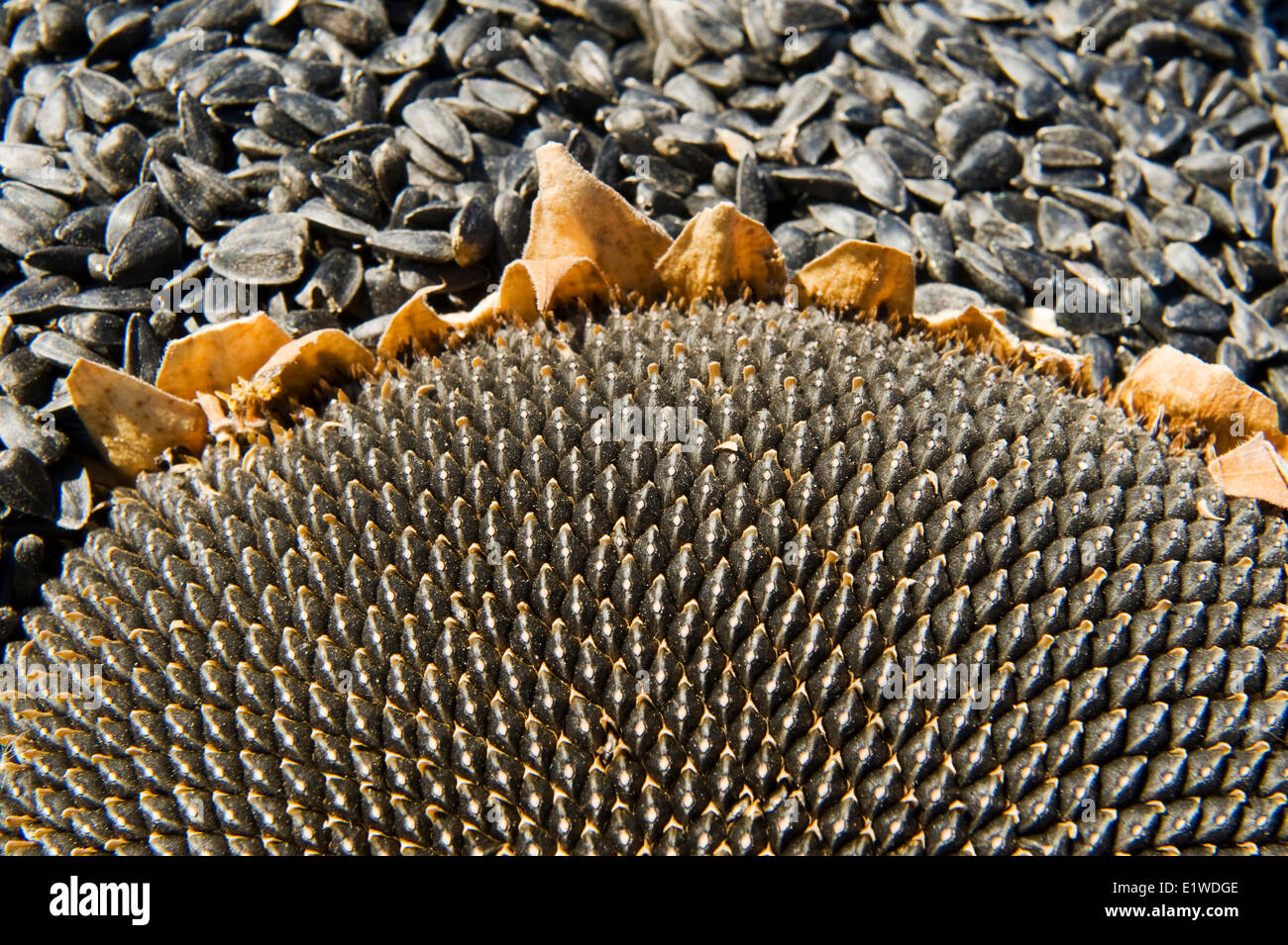 close-up of harvested black oil sunflower seeds and seed head ,near Lorette, Manitoba, Canada - Stock Image