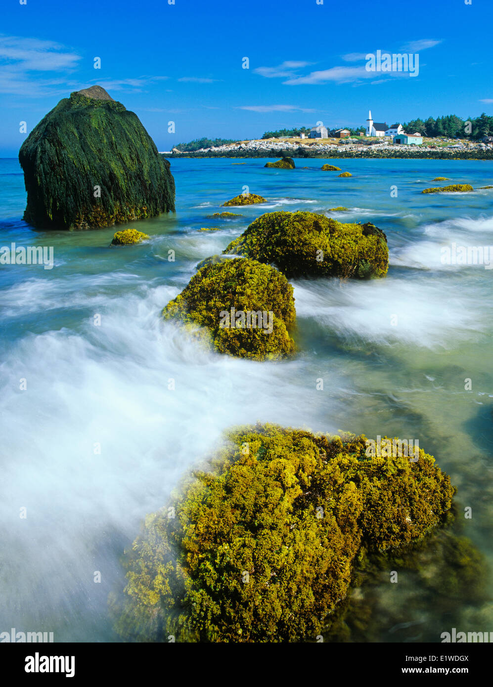 irish moss or carrageen moss, an algae, (Chondrus crispus), on rocks at low tide, Seal Island, Nova Scotia, Canada - Stock Image