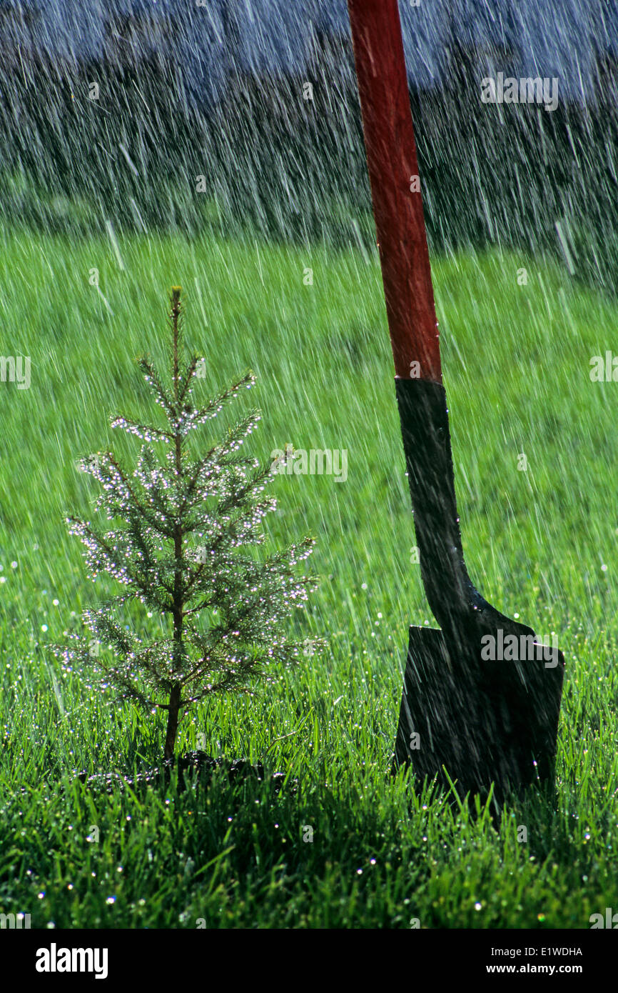 newly planted spruce tree next to shovel in the rain, Winnipeg, Manitoba, Canada Stock Photo