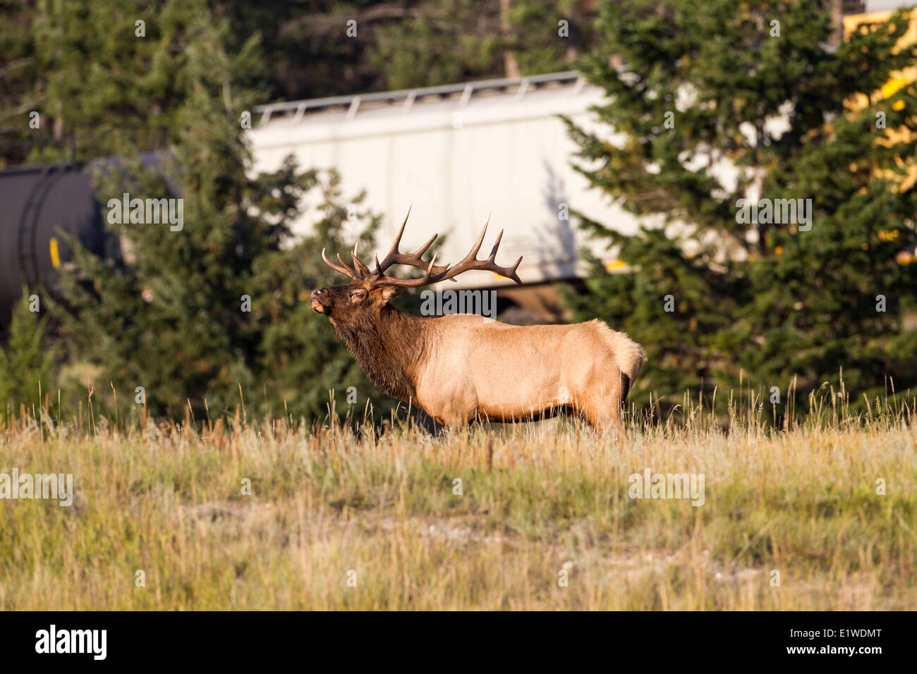 Bull Elk or wapiti (Cervus canadensis formerly classed with Cervus elaphus) beside a passing train in Jasper National - Stock Image
