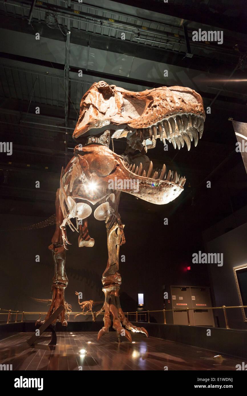 Tyrannosaurus Rex Dinosaur Stock Photos & Tyrannosaurus Rex