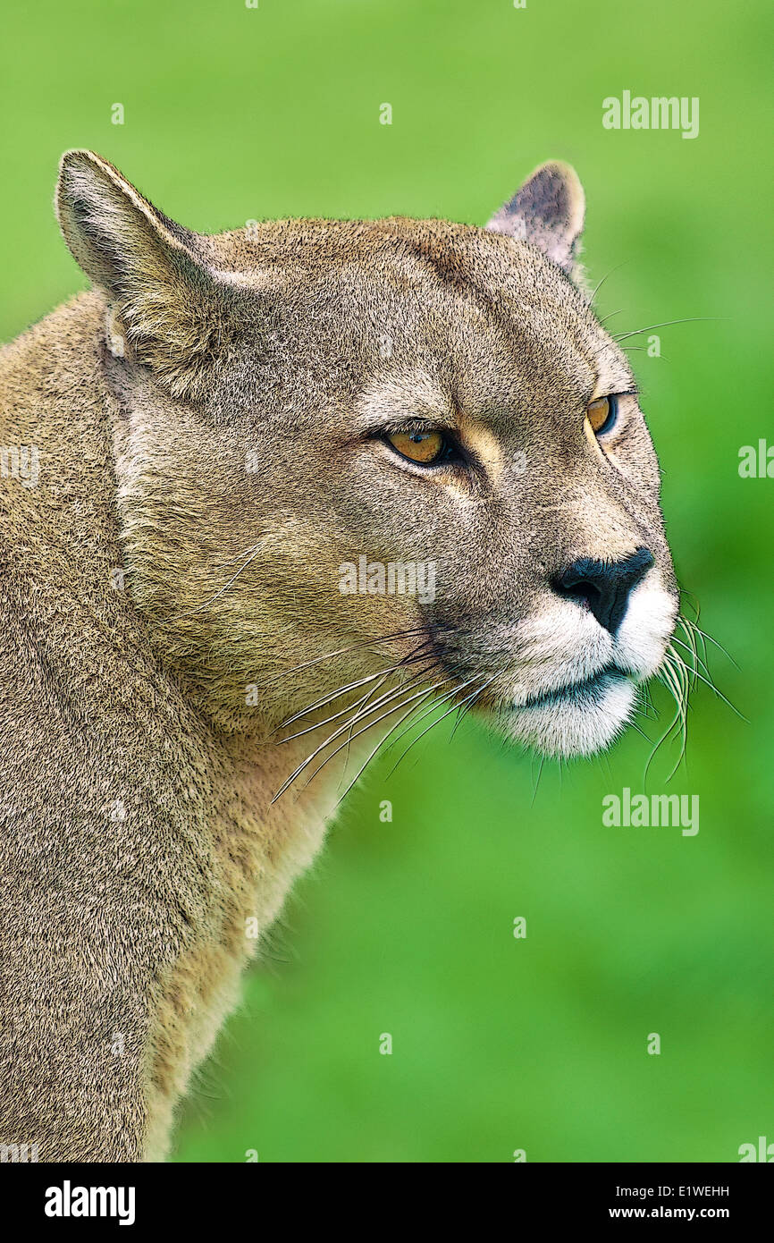 Andean puma (Felis concolor), Torres del Paine National Park, southern Patagonia, Chile - Stock Image