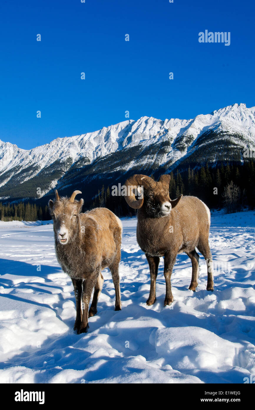 Bighorn sheep ram & ewe (Ovis canadensis) courting, with frost-covered muzzles at -28C, Jasper National Park, - Stock Image