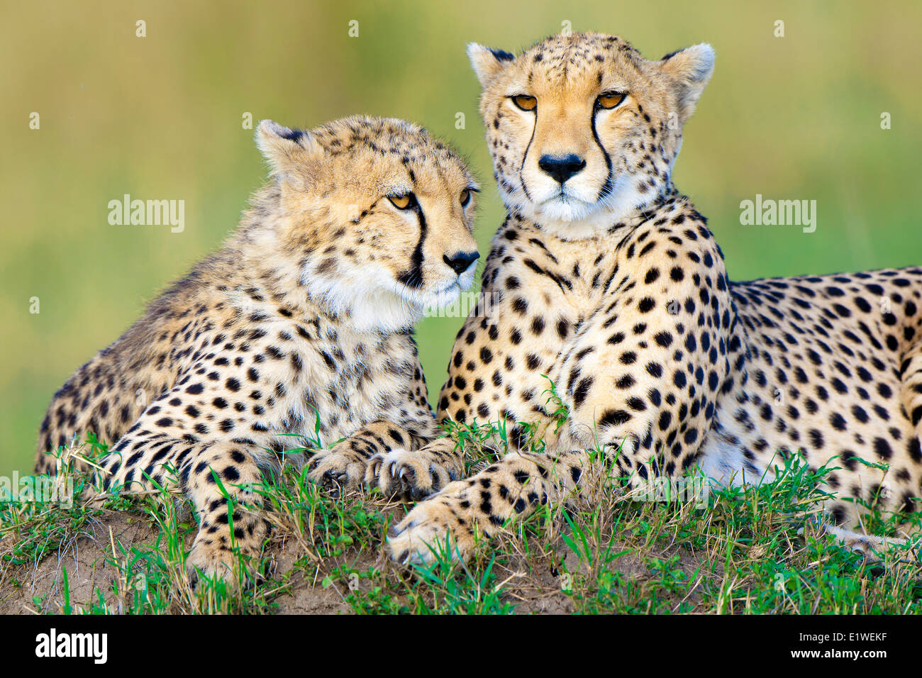 Mother cheetah (Acinonyx jubatus) yearling offspring resting on a termite mound Masai Mara Game Reserve Kenya East - Stock Image