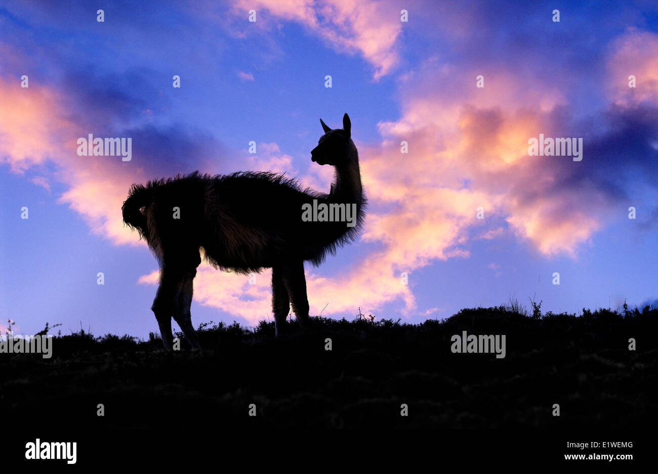 Adult guanaco (Lama guanicoe), Torres Del Paine National Park, Patagonia, southern Chile, South America - Stock Image