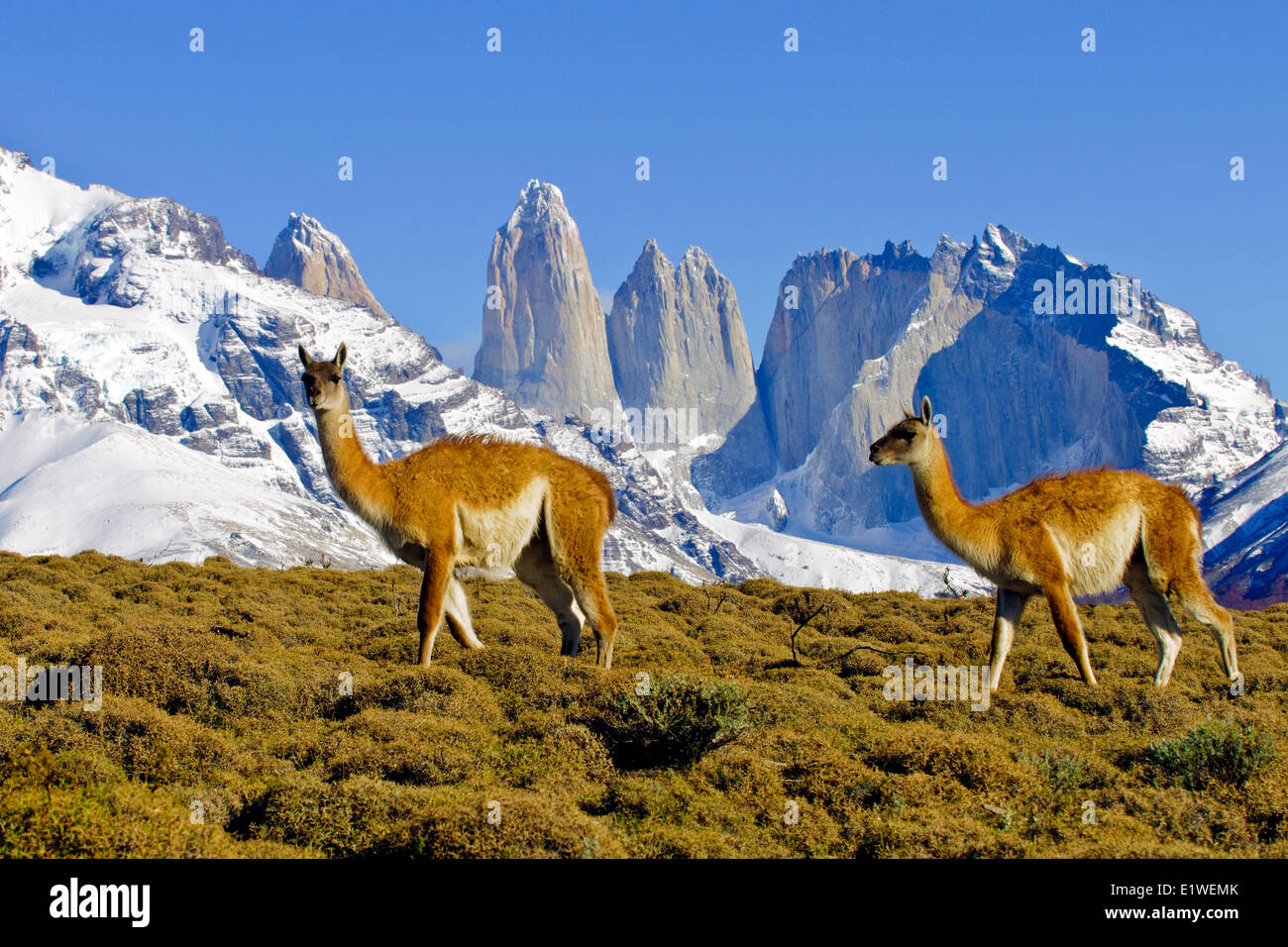 Adult guanacos (Lama guanicoe), Torres Del Paine National Park, Patagonia, southern Chile, South America - Stock Image