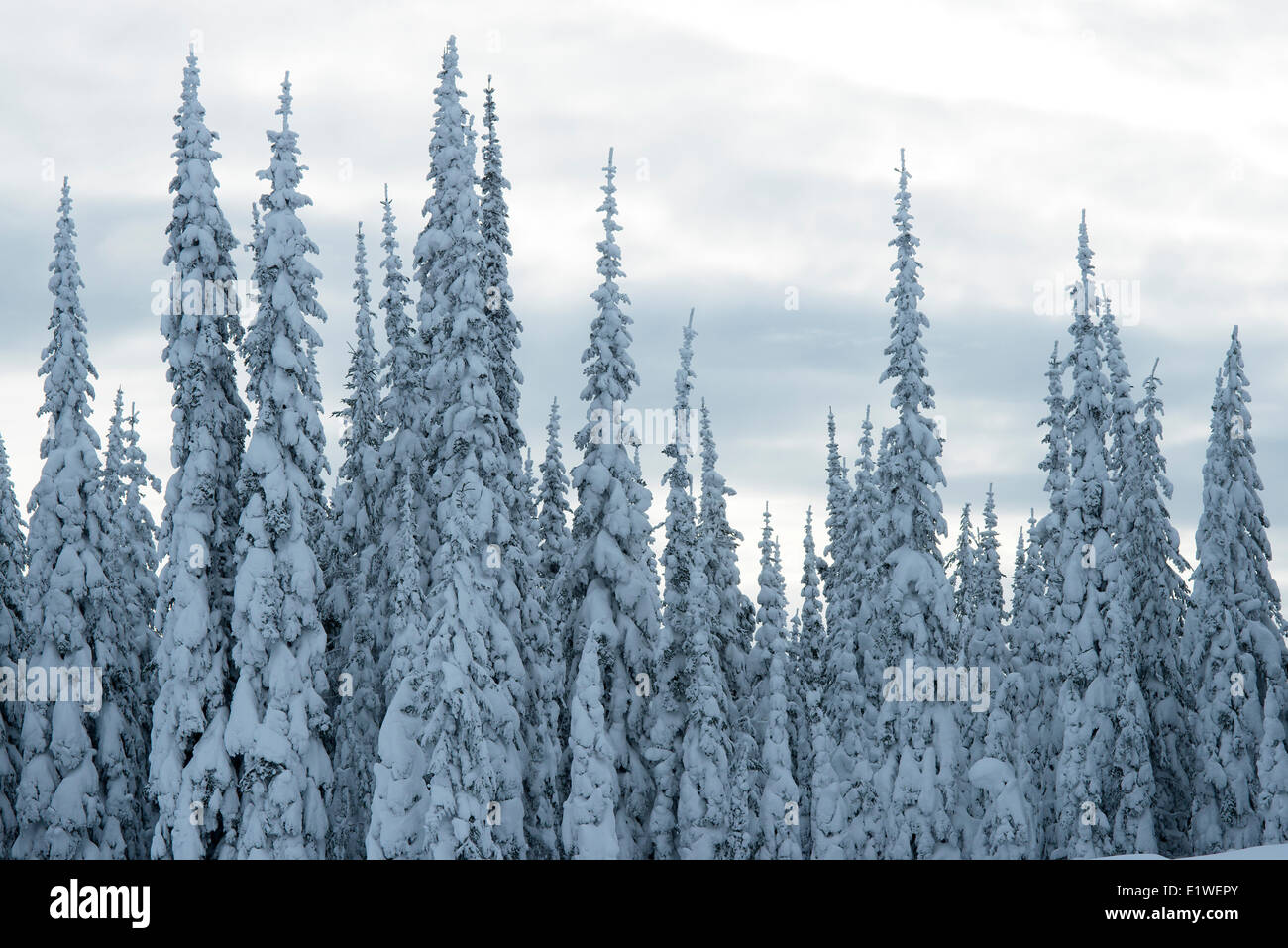 snow covered subalpine fir Abies lasiocarpa forest in twilight spindly crown shapes resistant to snow loads Silver Star Stock Photo