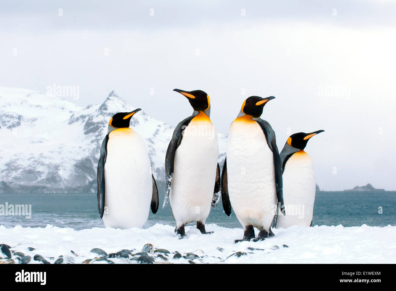 King penguins (Aptenodytes patagonicus) loafing on the beach, Island of South Georgia, Antarctica - Stock Image
