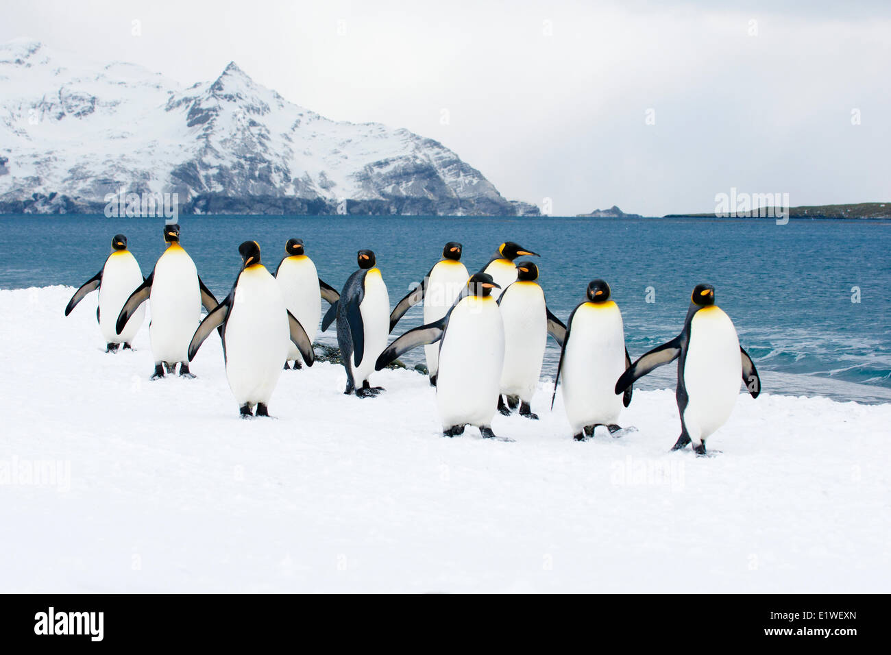 King penguins (Aptenodytes patagonicus) loafing on the beach, Island of South Georgia, Antarctica Stock Photo