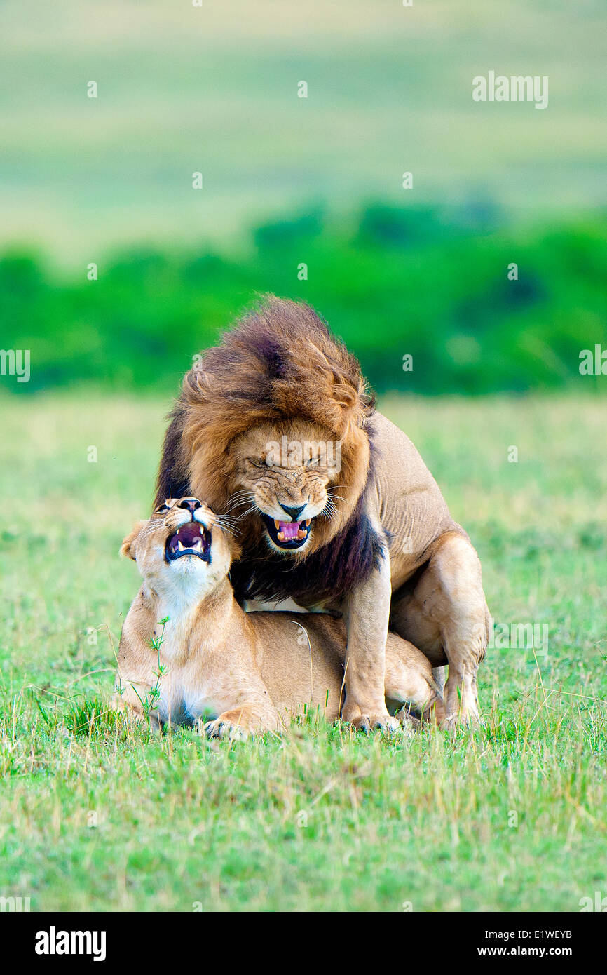 Mating lions (Panthera leo), Masai Mara Game Reserve, Kenya, East Africa - Stock Image