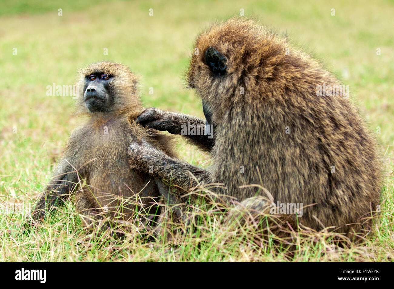 Olive baboons (papio anubis) grooming each other, Kenya, East Africa Stock Photo