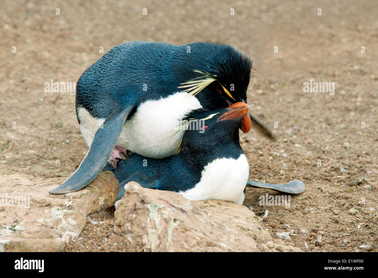 Mating rockhopper penguins (Eudyptes chrysocome), Falkland Islands, Southern Atlantic Ocean - Stock Image