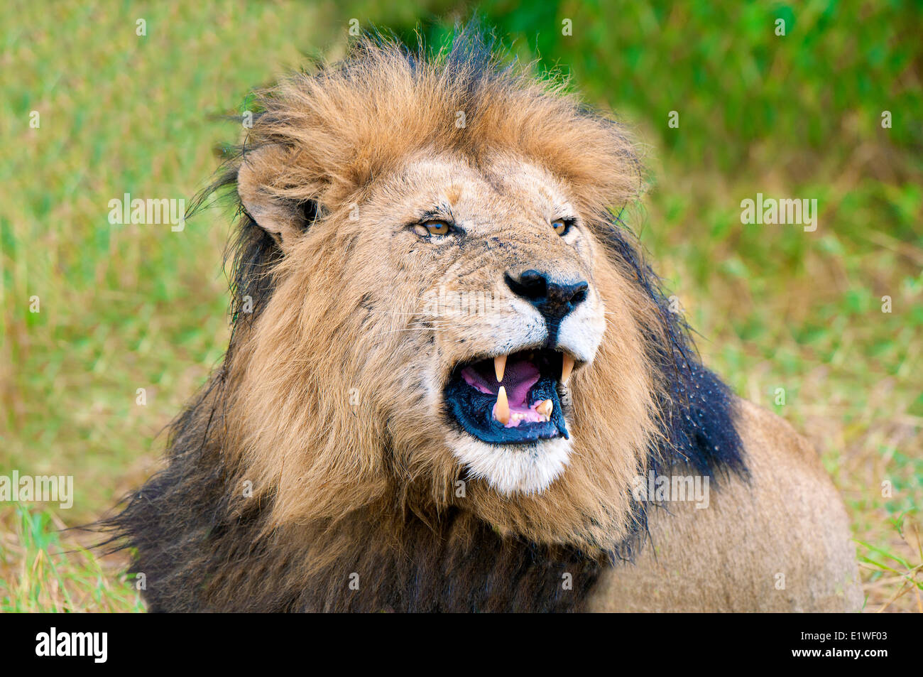 Snarling male African lion (Panthera leo), Masai Mara Game Reserve, Kenya, East Africa - Stock Image