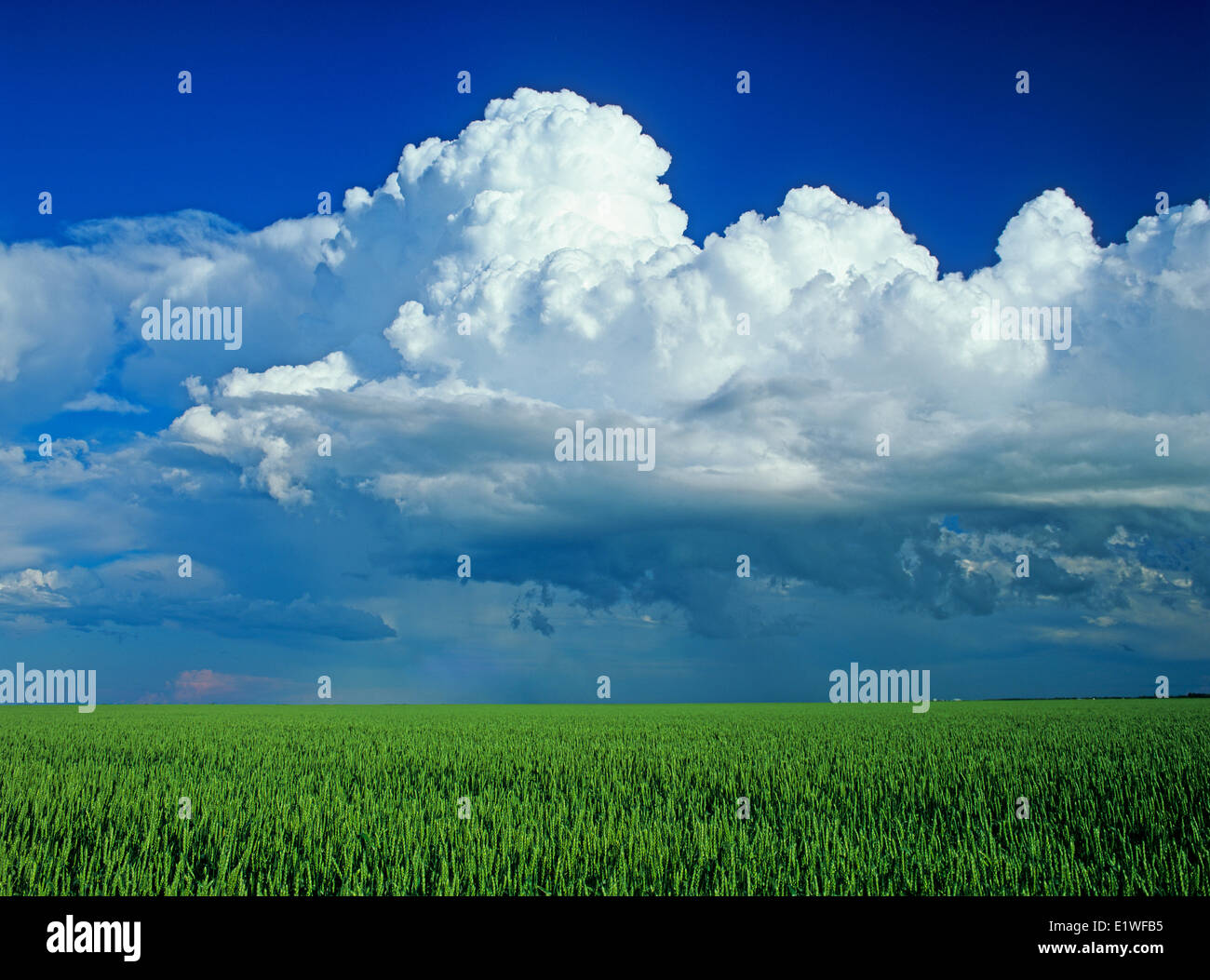 wheat field with a cumulonimbus cloud mass in the background near St. Pierre Joly, Manitoba, Canada Stock Photo