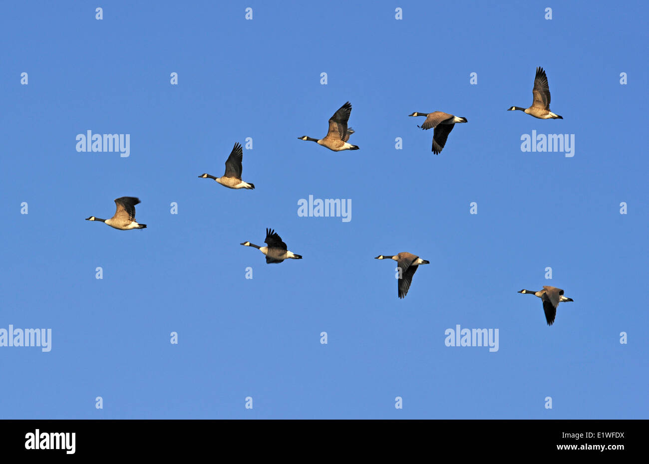 flock of canada geese flying in v formation stock photo 70017078