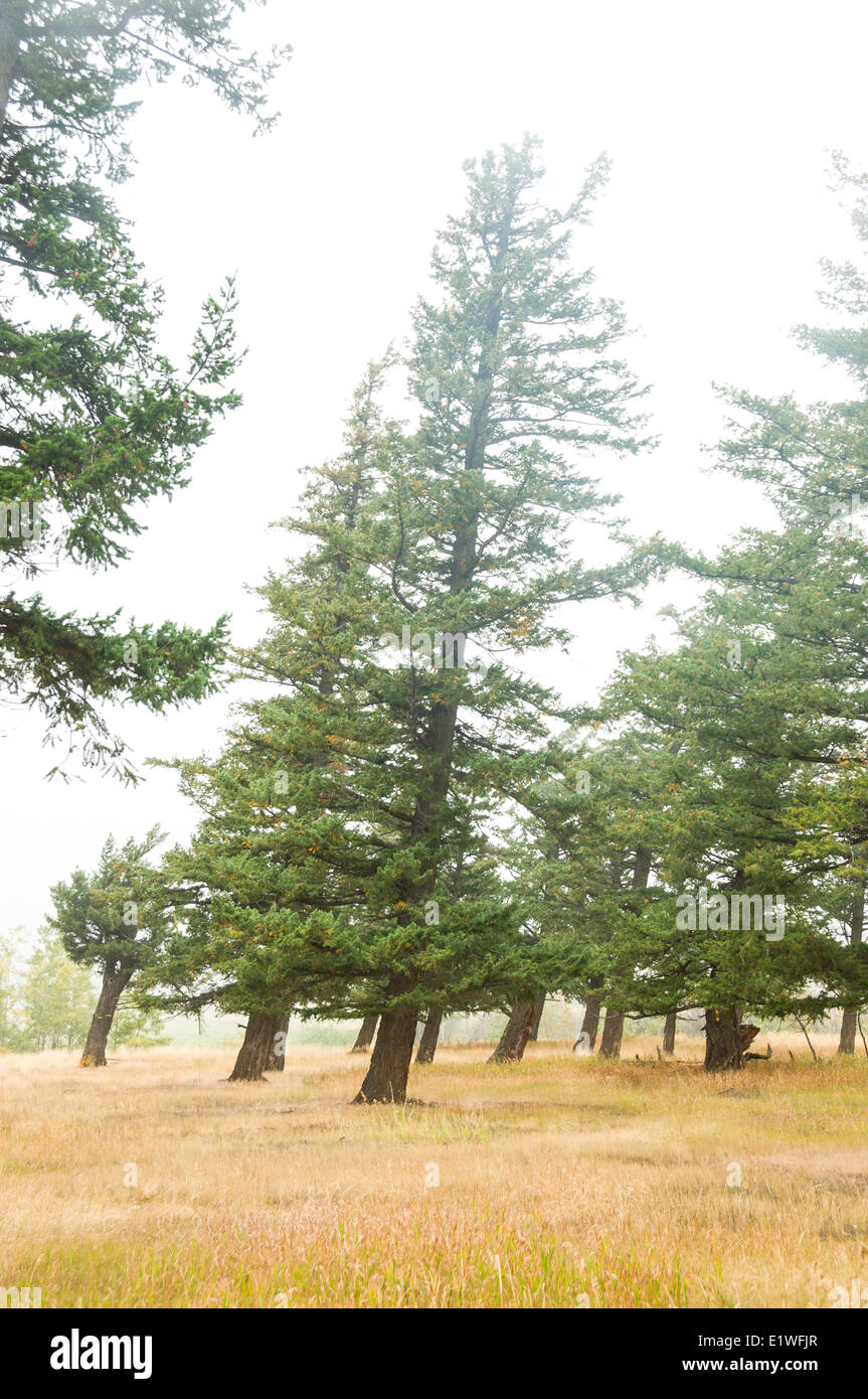 Douglas Fir trees (Pseudotsuga menziesii) are tilted due to persistent winds in the Tatlayoko Valley, British Columbia - Stock Image