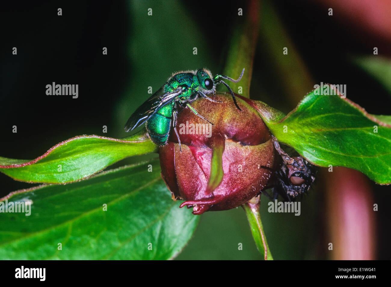 Green Metallic Bee - Stock Image