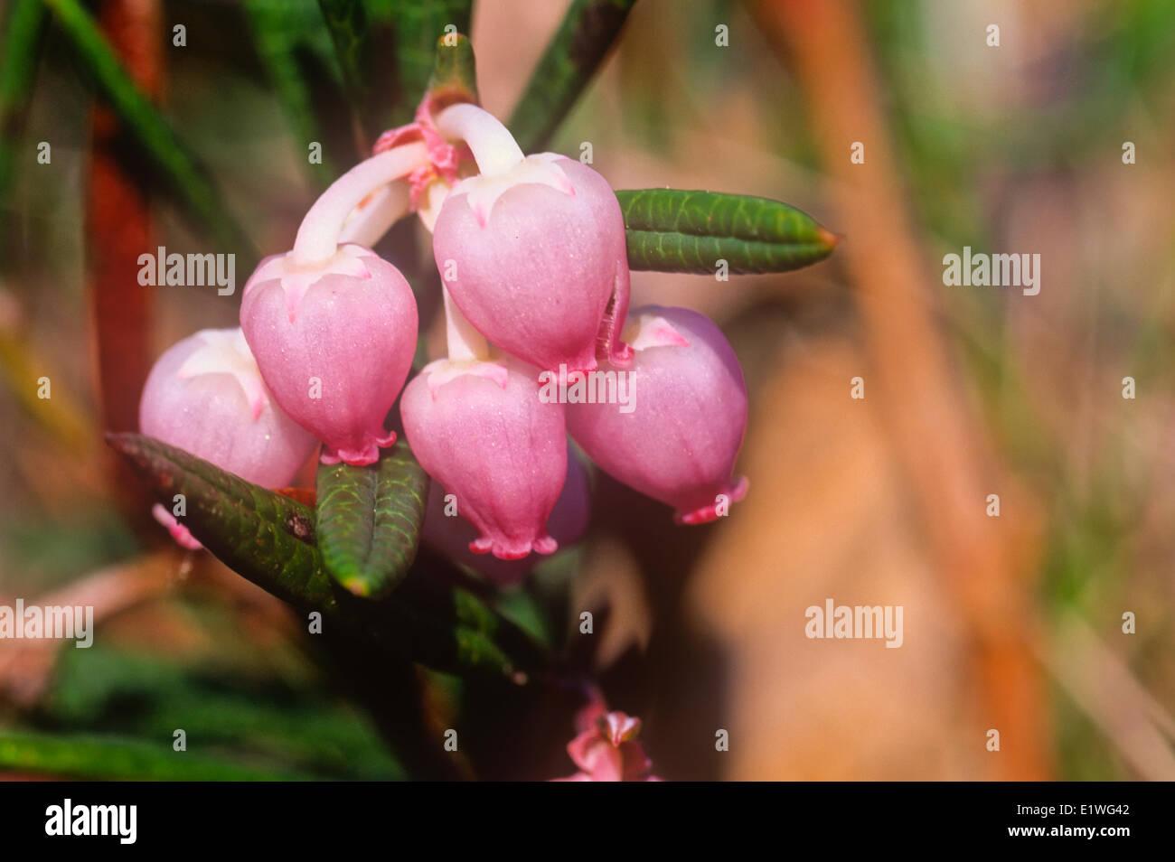 Bearberry flowers, (Arctostaphylos uva-ursi ) - Stock Image