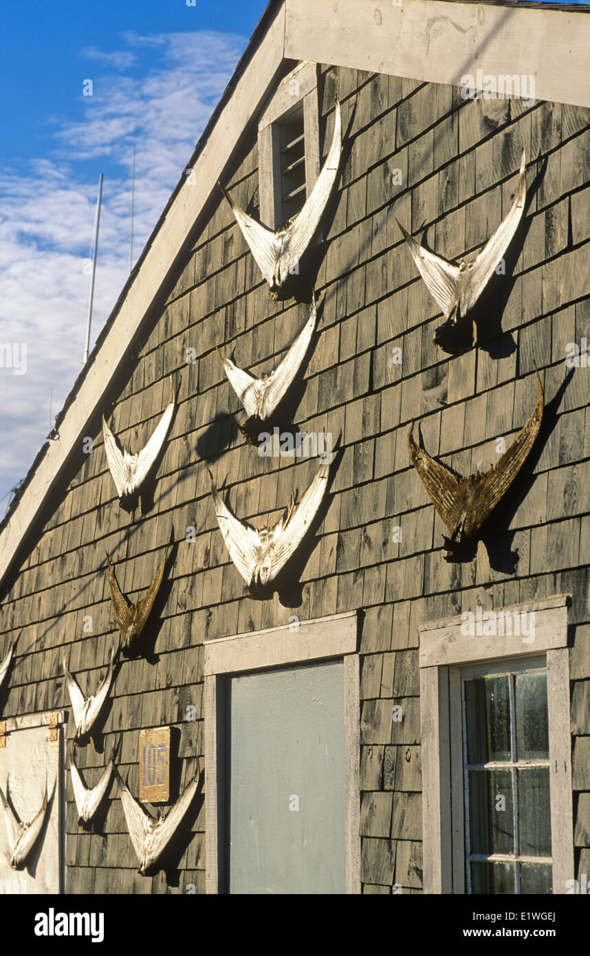 Tuna tails on fishing shed - Stock Image