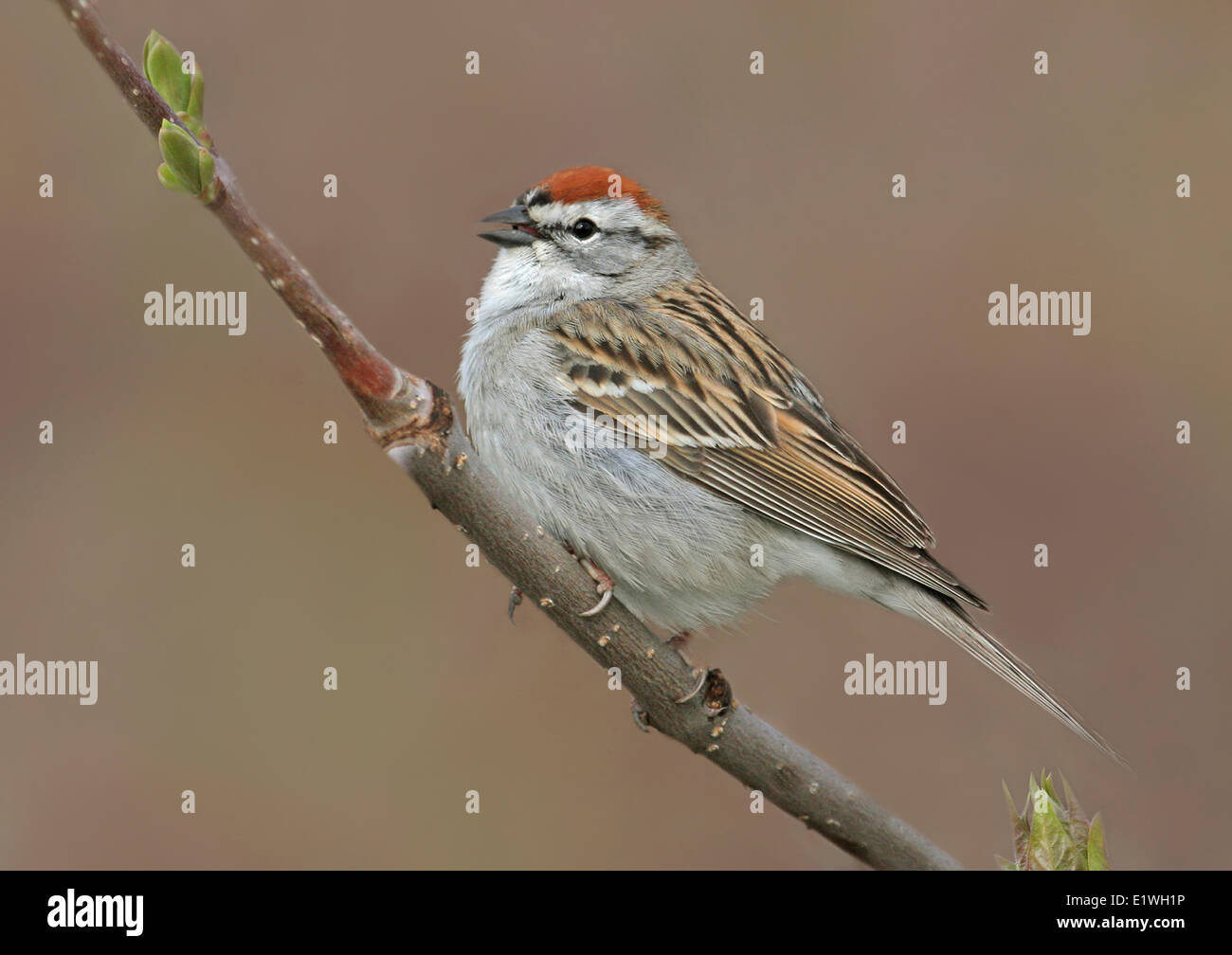 A Chipping Sparrow, Spizella passerina, sings from a perch in Saskatchewan, Canada - Stock Image