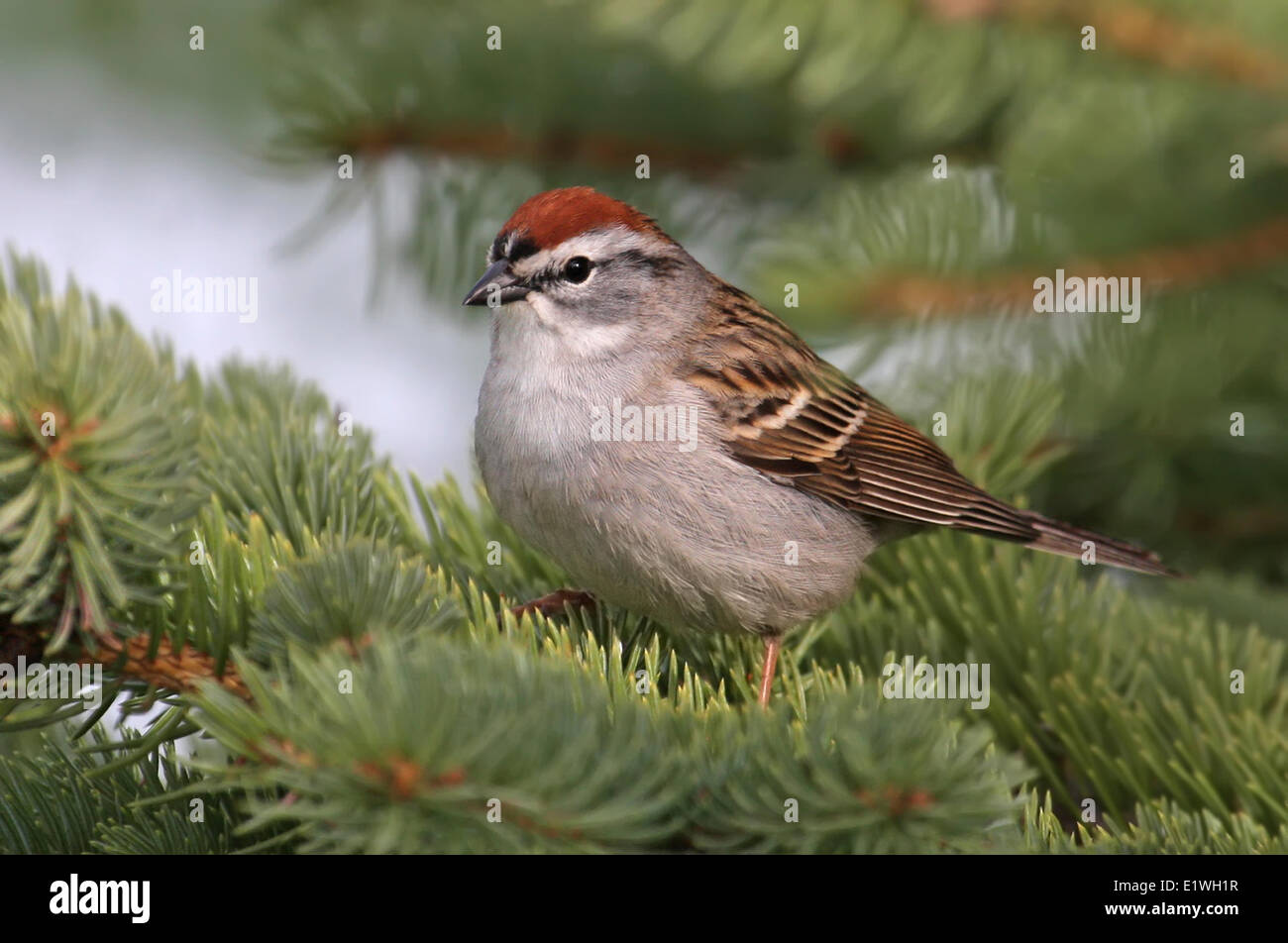 A Chipping Sparrow, Spizella passerina, perched in a spruce tree in Saskatchewan, Canada Stock Photo