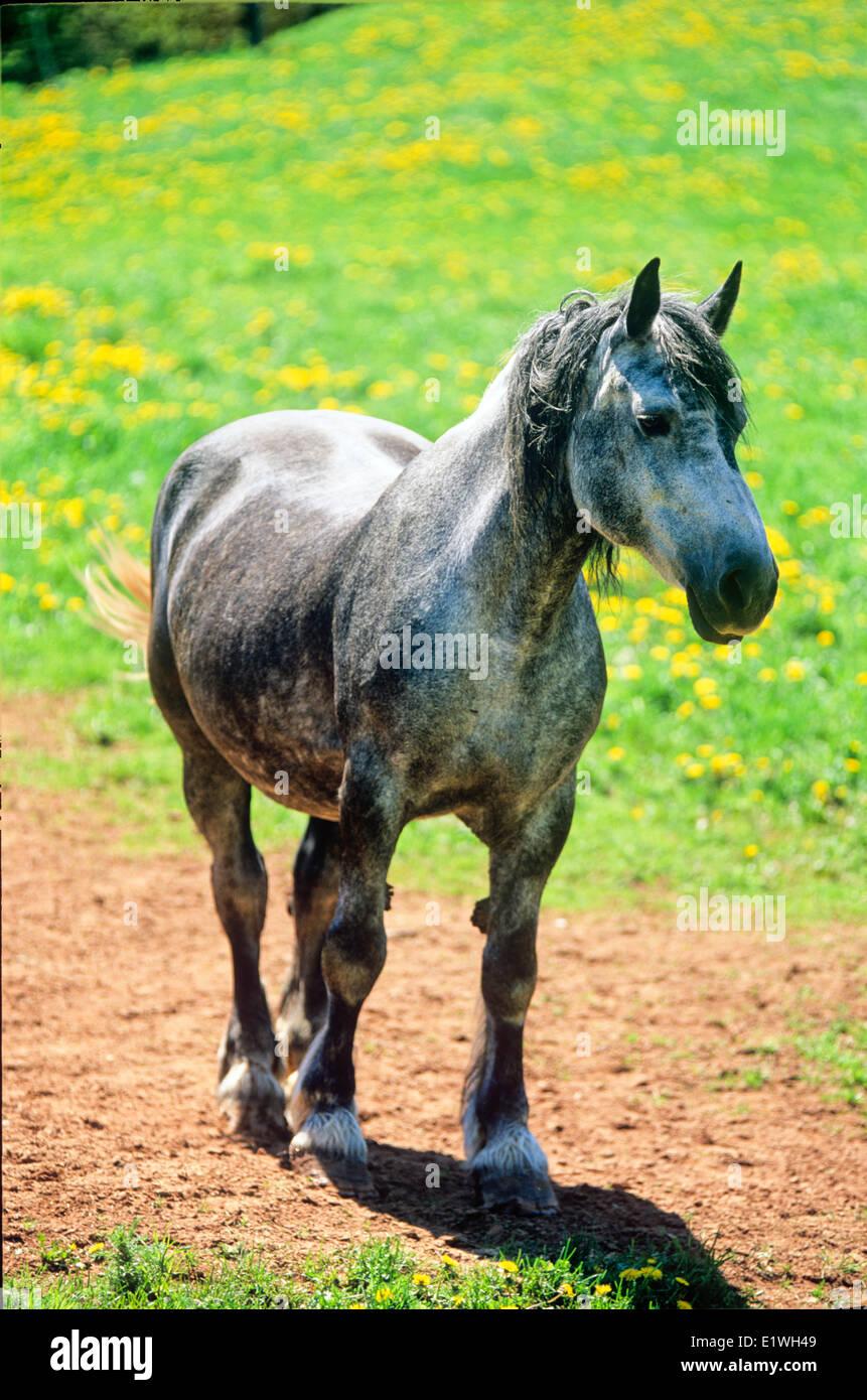 Draft Horse mare, Prince Edward Island, Canada - Stock Image