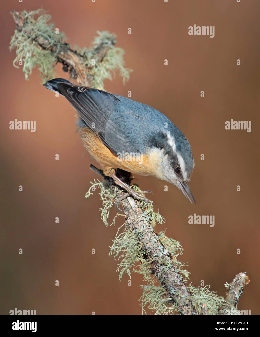 A Red-breasted Nuthatch, Sitta canadensis, perched on a lichen-covered twig, in Saskatchewan. Stock Photo