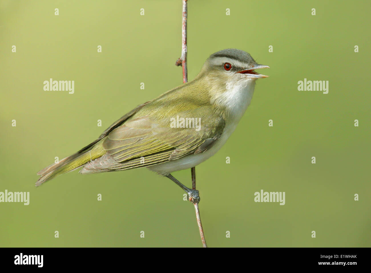 A Red-eyed Vireo, Vireo olivaceus, perched on a twig in Saskatoon, Saskatchewan - Stock Image