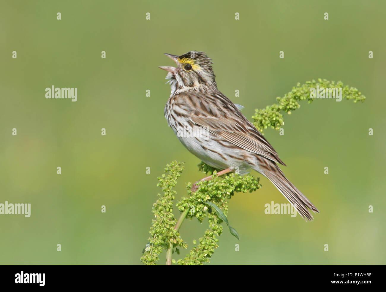 Savannah Sparrow, Passerculus sandwichensis, sings from a wildlfower near Saskatoon, Saskatchewan Stock Photo
