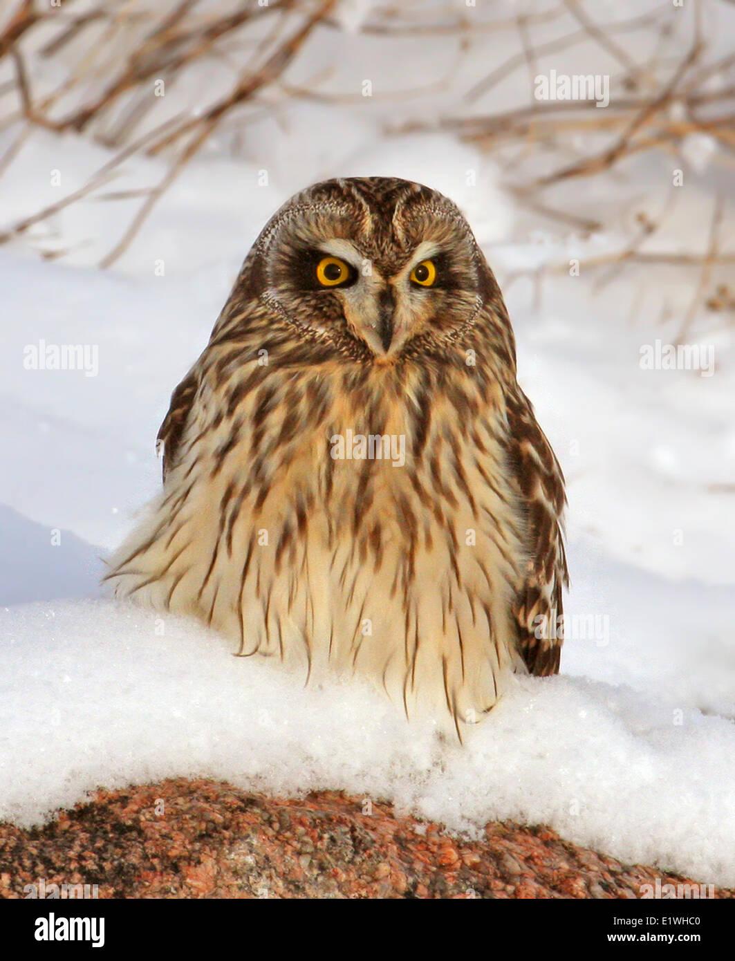 A Short-eared Owl, Asio flammeus,  sat in the snow, at Gardiner Dam, Saskatchewan - Stock Image